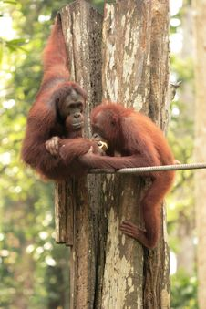 Free One Orang-Utan Feeding Another Stock Images - 3812364
