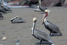Free Brown Pelican. Royalty Free Stock Photo - 3812615