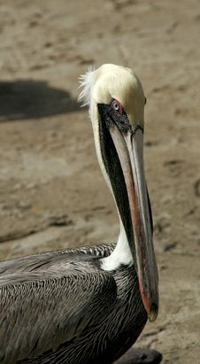 Free Brown Pelican. Royalty Free Stock Photo - 3812625