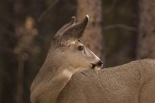 Free Mule Deer. Stock Photo - 3812640