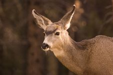 Free Mule Deer. Stock Photos - 3812833