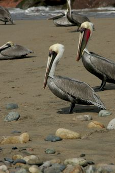 Free Brown Pelican. Royalty Free Stock Photo - 3812855