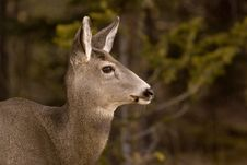 Free Mule Deer. Stock Images - 3812984