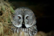 Free Gray Owl Stock Photo - 3814370