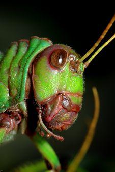 Free Grasshopper Royalty Free Stock Photo - 3814425