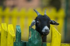 Free The Goat Portrait On The Farm Stock Image - 3814821