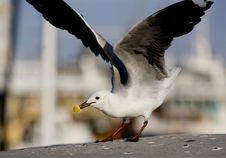 Free The Gull Take A Bread Royalty Free Stock Images - 3815529