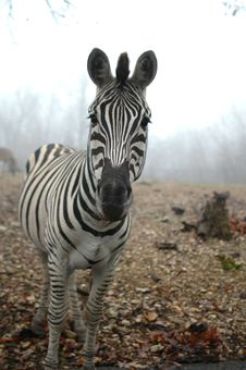 Free Zebra Stock Photos - 3815883