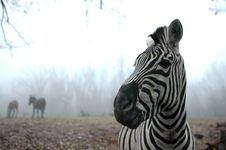 Zebra Profile Royalty Free Stock Images