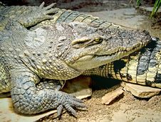 Free Siam Crocodile 6 Royalty Free Stock Photo - 3818185