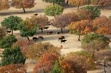 Free Cattle In Maple Forest Stock Photo - 3818470