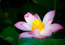 Free Blooming Lotus Stock Photos - 38105703