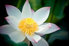 Free Blooming Lotus Royalty Free Stock Photography - 38105757
