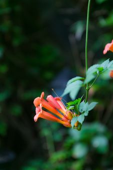Free Blooming Chinese Trumpet Creeper Royalty Free Stock Photos - 38106728