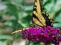 Free Yellow Butterfly On Butterfly Bush Stock Photos - 38197833
