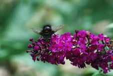 Free Fly On Butterfly Bush Flower Stock Photos - 38199393
