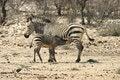 Free Zebra Family Stock Photography - 3821052
