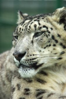Free Snow Leopard 7 Royalty Free Stock Image - 3820126