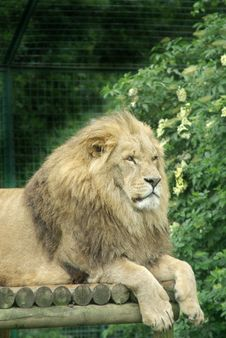 Free Male Lion 1 Royalty Free Stock Photo - 3820135