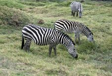 Free Zebras Trio Stock Image - 3820211
