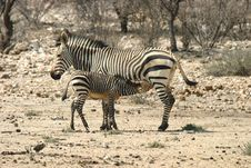Free Zebra Family Stock Photography - 3821052