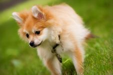Free Pomeranian Pup Stock Images - 3822264