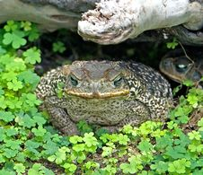 Rococo Toad 1 Royalty Free Stock Photo