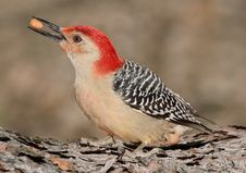Free Woodpecker With Nut Stock Images - 3825554