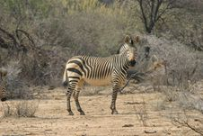 Free Single Zebra Stock Photography - 3827502