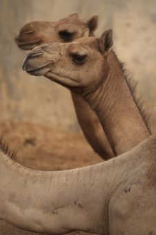 Free Camel Royalty Free Stock Photo - 3829295