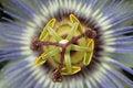 Free Passiflora Caerulea Royalty Free Stock Photos - 3833868