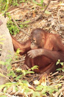 Free Young Orang-Utan Royalty Free Stock Images - 3830009