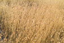 Free Golden Reed In Wind Stock Images - 3830774