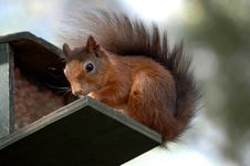 Free Red Squirrel Royalty Free Stock Images - 3831489