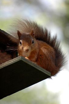 Free Red Squirrel Royalty Free Stock Photography - 3831517