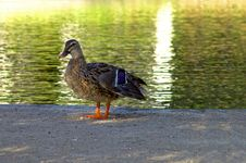 Free Duck And Water Stock Images - 3831564