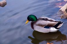 Free Duck In Blue Water Royalty Free Stock Photos - 3831748