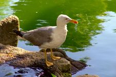 Free Seagull Bird Standing Up Royalty Free Stock Image - 3832276