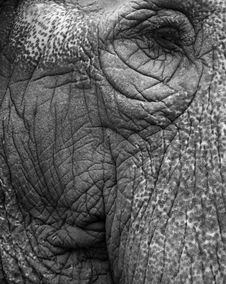 Free Old Elephant Portrait 4 Royalty Free Stock Photo - 3832915