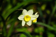 Free Miniature Daffodil Royalty Free Stock Photography - 3835587