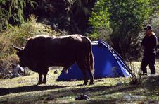 Free Cattle And Tent Stock Photos - 3836703