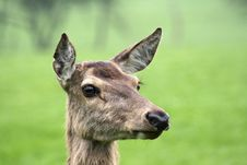 Free Portrait Of Deer Royalty Free Stock Photography - 3837387