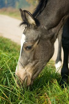 Free Eating Foal Royalty Free Stock Photo - 3837595