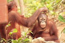 Free Two Young Orang-Utan Grooming Stock Photo - 3838090