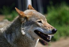 Free The Wolf Royalty Free Stock Images - 3838719