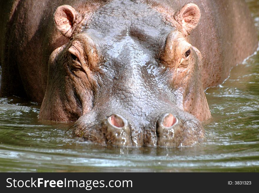Just Hippo