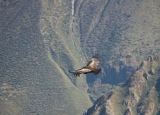 Free Flying Condor In The Colca Canyon Royalty Free Stock Images - 3840009
