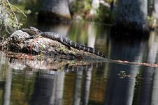 Free Baby Alligator Royalty Free Stock Photos - 3840908
