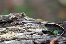 Free Three-lined Salamander Royalty Free Stock Photography - 3840957