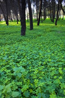 Free Clover In A Forest Royalty Free Stock Image - 3842116